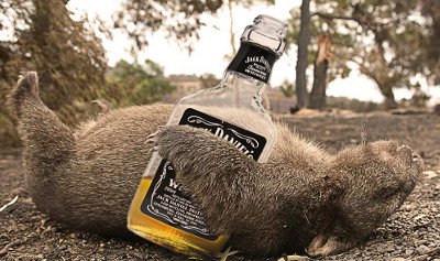 Drunk Wombat holding bottle of Jack Daniels